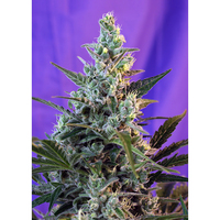 Sweet Seeds Sweet Skunk Fast Version x3