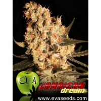 Eva Seeds Jamaican Dream x3