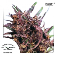 Dutch Passion Purple #1 x3